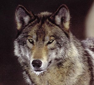 Wolf eating rabbit - photo#20
